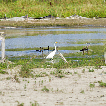 Great white egrets and cormorants and great blue heron Collection