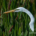 Great White Egrets Collection