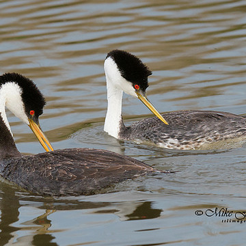 Grebes Collection