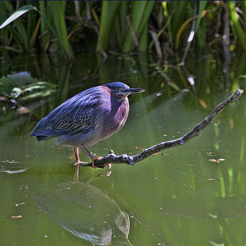 Green Heron Collection
