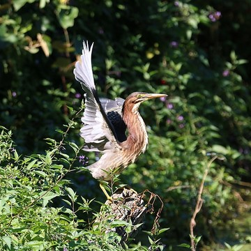 Green Herons Collection