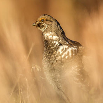 Grouse Collection
