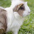 Guinea Pigs Collection