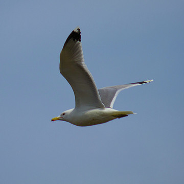 Gull Collection