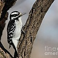 Hairy Woodpecker Collection