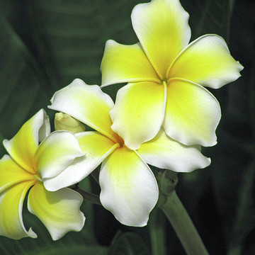 Hawaiian Flora Collection
