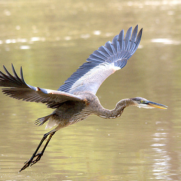 Heron Family Collection