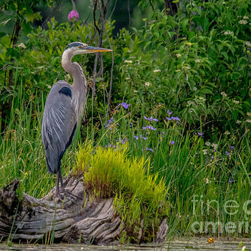 Herons & Cranes Collection