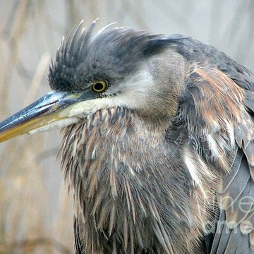 Herons and Shorebirds Collection