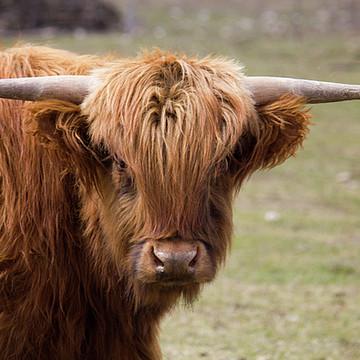Highland Cows Collection