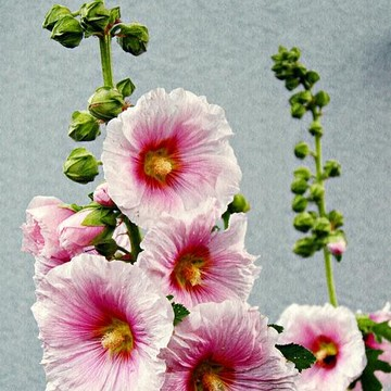 Hollyhocks Collection