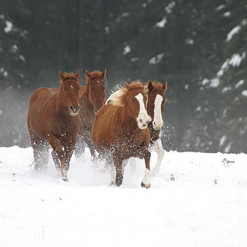 Horses and Mules Collection