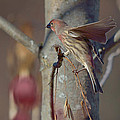House Finch Collection