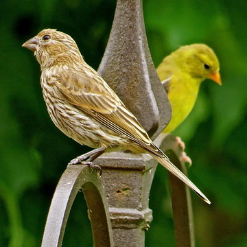 House Finches Collection