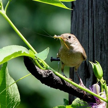 House Wren Collection