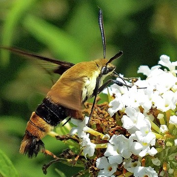 Hummingbird Moth - Clearwing Collection