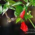 Hummingbirds Hummingbird Photos Hummingbird Images Hummingbird Pictures