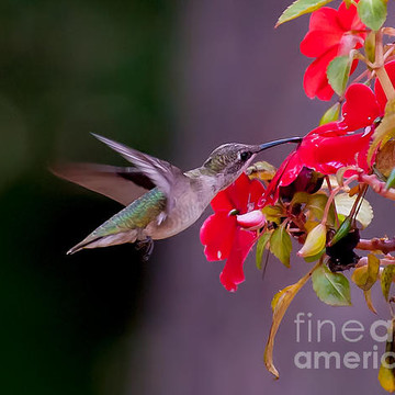 Hummingbirds Collection
