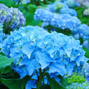 HYDRANGEA FLOWERS Fine Art Prints Collection
