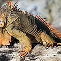 Iguanas Collection