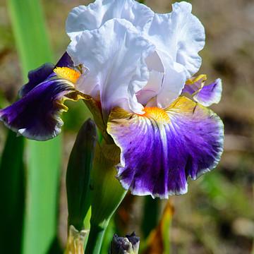 Iris Beauties Collection