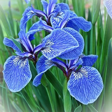 Irises Collection