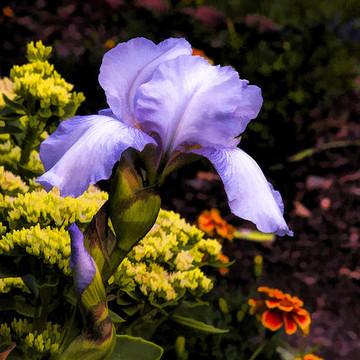 Irises  Collection