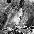 Irish wild country horses in black and white Collection