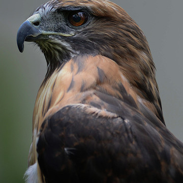 Isham - The red tailed hawk Collection