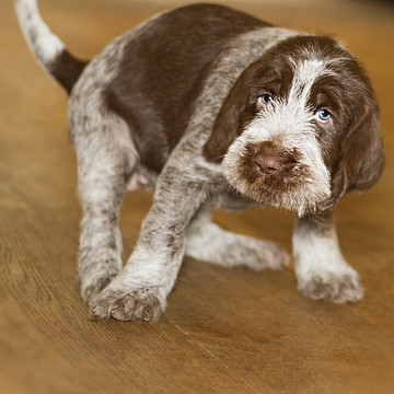 Italian Spinone Puppies Collection