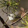 Kinglets Collection