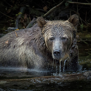 Knight Inlet Grizzly Bear Tour 2016 Collection