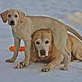 Labrador Retrievers Collection