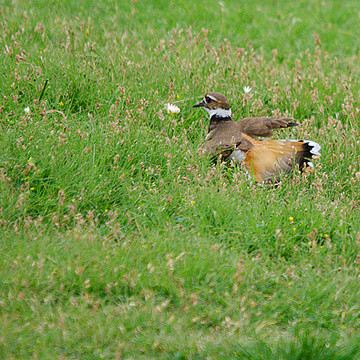 Lapwings and Plovers Collection