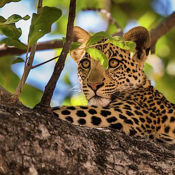 Leopards & Cheetahs