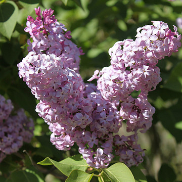 Lilacs Collection