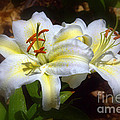 Lily Lilies Liliums Collection