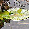 Lily Pads Collection