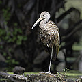 Limpkin Collection