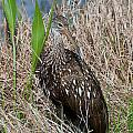 Limpkins Collection