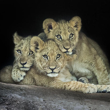 Lions Collection