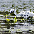 Little Blue Heron Collection