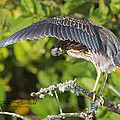 Little Green Heron Collection