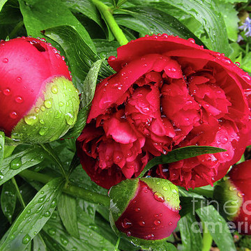 Love Of Peonies Collection