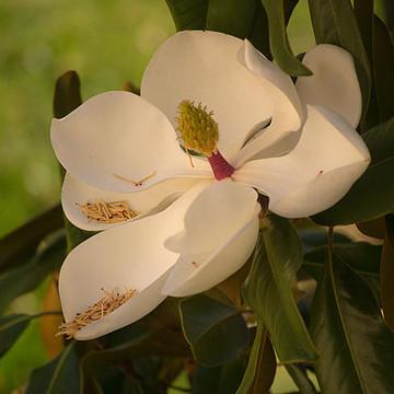 Magnolia Collection