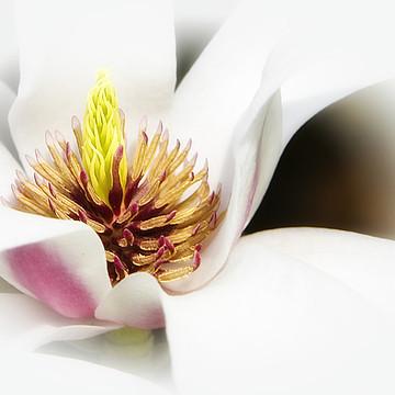 Magnolias Collection