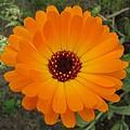 Marigold Collection