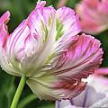 Mi Holland Tulip Festival Flowers Collection