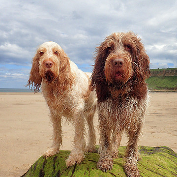 More than one Italian Spinone Collection