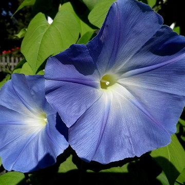 Morning Glories Collection
